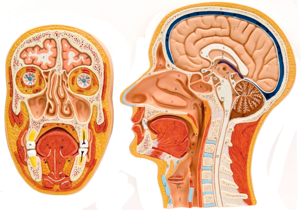 Modelo anatómico para ver los órganos del Habla y de la Deglución